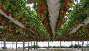 Rentabilidad en acuaponía comercial con fresas